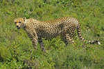 Cheetah in high grass on southern Serengeti Plains in Tanzania.