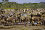 Herd of wildebeest and zebras gathering for Great Migration under umbrella acacia trees on Serengeti Plains of Tanzania.