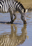 Zebra drinking from stream in Serengeti Plains.