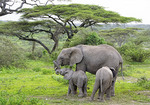 Female elephant mother with two calves of different ages in Serengeti Plains of Tanzania.