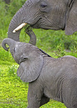 Mother elephant with baby on Serengeti Plains of Tanzania.