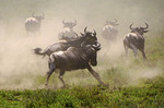 Wildebeest fleeing two cheetahs stalking the herds in Tanzania's Serengeti National Park.
