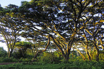 Early morning golden ight on umbrella thorn acacia trees on rim of Ngorongoro Crater in Tanzania.