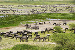 Herd of wildebeest and zebras gathering for great migration on Serengeti Plains of Tanzania.