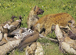 Two spotted hyenas and vultures scavenge the carcass of a dead zebra on southern Serengeti in Tanzania.