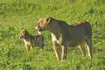 Mother lion training cub to hunt in Ngorongoro Crater of Tanzania.