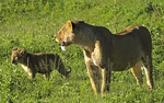 Lion with cub in Ngorongoro Crater.