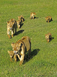 Two female lions with their six cubs in Ngorongoro Crater of Tanzania.