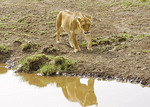 Female lion on bank of stream in Serengeti National Park, Tanzania.
