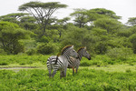 Zebras in pristine acacia wooded areas of Serengeti Plains of Tanzania.