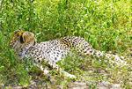 Cheetah taking a rest on Serengeti Plains of Tanzania.