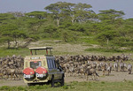 Safari van approaching herds of wildebeest and zebras grazing in preparation of start of great migration on Serengeti.