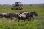 Tourists in safari van observing passing wildebeest in Serengeti National Park in Tanzania.