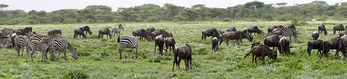 Panoramic of wildebeest and zebras grazing on the Serengeti to fatten up for the beginning of their annual great migration.