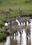 Zebras in stream in the Serengeti National Park, Tanzania.