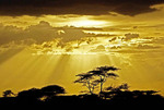 Silhouetted acacia trees highlighted by light rays through storm clouds on the Serengeti Plains in Tanzania.