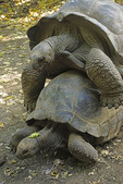 Giant land tortoises copulating at tortoise sanctuary on Prison Island in Zanzibar.