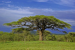 Umbrella acacia tree on the Serengeti Plains in Tanzania.