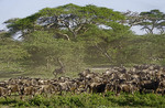 Herd of wildebeest gathering for great migration under umbrella acacia trees on Serengeti Plains of Tanzania.
