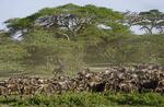 Herd of wildebeest gathering for great migration under umbrella acacia trees on Serengeti Plains of Tanzania.