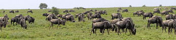 Panoramic of wildebeest grazing on the Serengeti to fatten up for the beginning of their annual Great Migration.