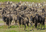 Herds of wildebeest and zebra waiting to begin Great Migration on Serengeti Plains of Tanzania.