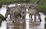 Zebras in stream in the Serengeti National Park, Tanzania.