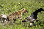 Bloody hyena and vulture after feeding on carcass of dead zebra on southern Serengeti Plains of Tanzania.