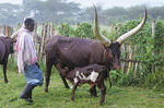 Longhorned cow nursing calf on farm of Nshenyl Cultural Center in Uganda.