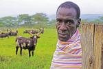 Cattle herder on farm at Nshenyi Cultural Center, Kitwe, Uganda.