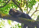 Young chimpanzee relaxing in tree in forest of Kibale National Park, Uganda.