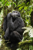 Mountain gorilla in Bwindi Impenerable National Park, Uganda.