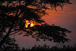 Silhouette of egret in tree at sunrise at Nshenyi Cultural Center in Uganda.
