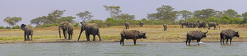Elephants and buffaloes watering on shore of Lake George in Uganda's Queen Elizabeth National Park.