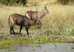 Male and female Water Bucks on bank of Victoria Nile in Murchison Falls National Park, Uganda.