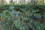 Arabica coffee beans growing on plantation at Karatu, Arusha, Tanzania.
