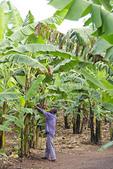 Banana plantation worker trimming banana plants at Nshenyi Cultural Center near town of Kitwe, Ntungamo, Uganda.