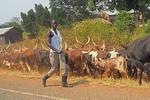 Man herding Ugandan long horned cattle along roadway.