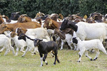 Goat herd on farm of the Nshenyi Cultural Center near Kitwe, Uganda.