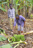 Father and son plantation field workers harvesting bananas on plantation of Nshenyi Cultural Center near town of Kitwe, Ntungamo, Uganda.
