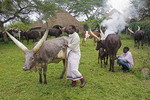 Farm workers milking Ankole long horned cattle on farm of Nshenyi Cultural Center near Kitwe, Uganda.