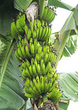 Bananas ready for picking growing on plantation of Nshenyi Cultural Center near town of Kitwe, Ntungamo, Uganda.