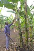 Banana plantation worker trimming banana plants with machete at Nshenyi Cultural Center near town of Kitwe, Ntungamo, Uganda.