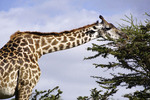 Giraffe biting on thorn tree in south Serengeti Plains of Tanzania.