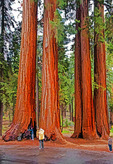Tourists with giants of Sequoia National Park, California, USA.  --Digital Photo Art Painting