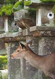 Deer in Nara looking out from lanterns along road to at Grand Kasuga Taisha Shrine.