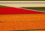 Keukenhof Gardens adjacent tulip fields in spring in Holland.