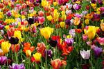 Keukenhof Gardens tulips in spring in Holland.
