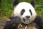 Giant panda eatting bamboo stalks in Chengdu, Sichuan, China.