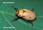 Grapevine Beetle, a scarab that feeds on grape leaves as an adult.